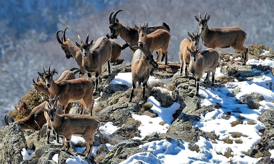 Bezoar goats