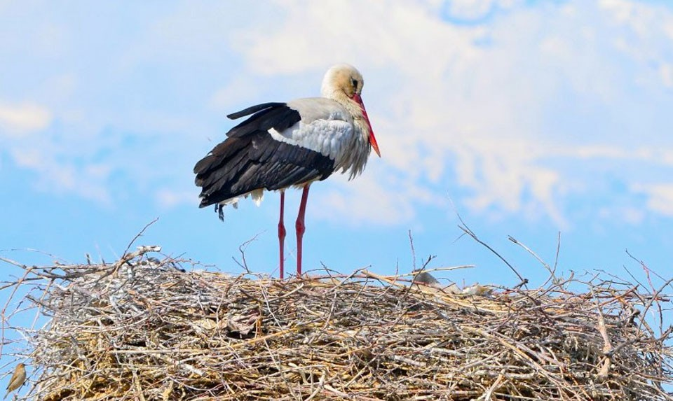 White Storks In Armenia